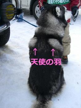 *リキ天使の羽.JPG